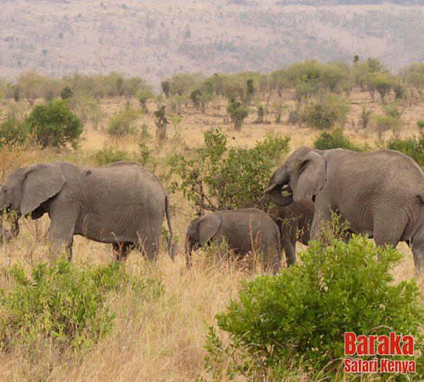 safari-masai-mara-barakasafarikenya-9