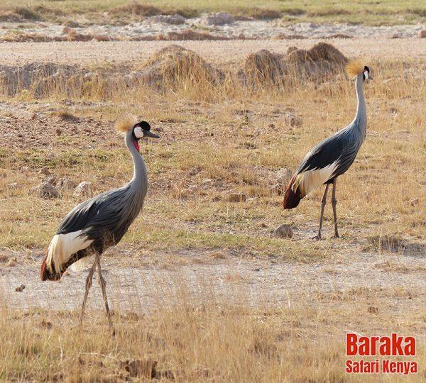 safari-tsavo-est-ovest-amboseli-barakasafarikenya-1