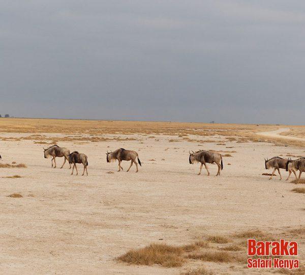 safari-tsavo-est-ovest-amboseli-barakasafarikenya-12