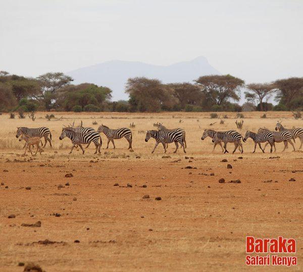 safari-tsavo-est-ovest-amboseli-barakasafarikenya-16