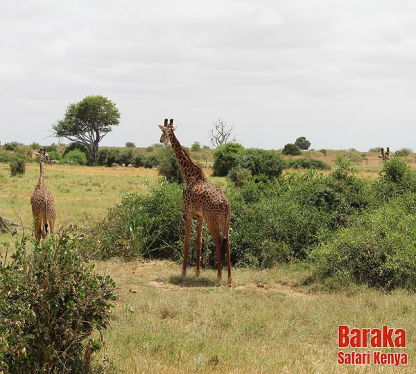 safari-tsavo-est-ovest-amboseli-barakasafarikenya-17