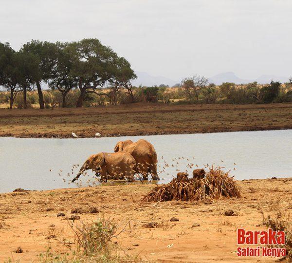 safari-tsavo-est-ovest-amboseli-barakasafarikenya-20