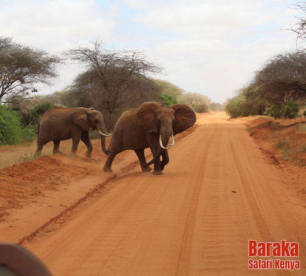 safari-tsavo-est-ovest-amboseli-barakasafarikenya-22