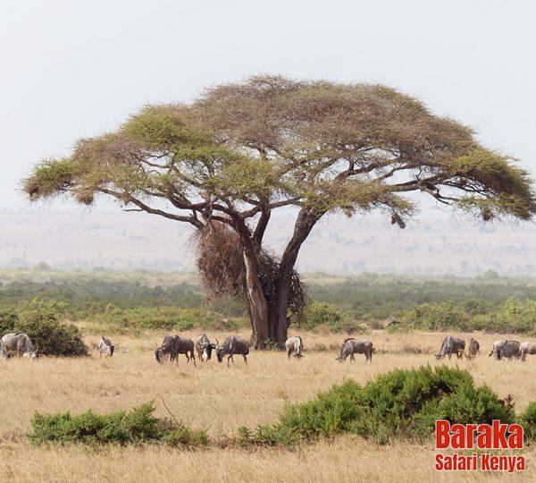 safari-tsavo-est-ovest-amboseli-barakasafarikenya-3
