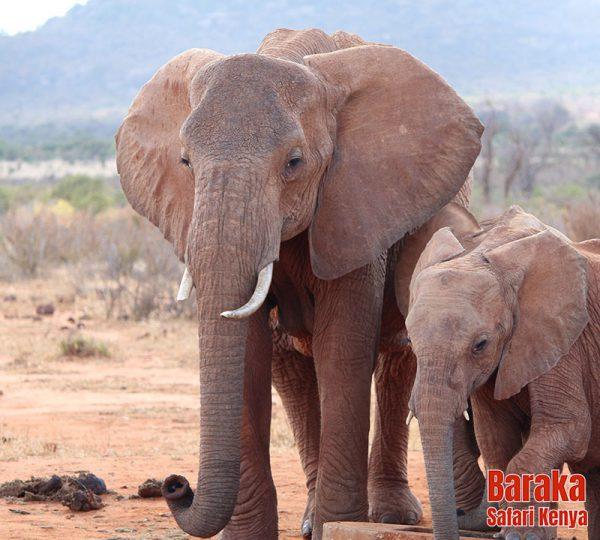safari-tsavo-est-ovest-amboseli-barakasafarikenya-38