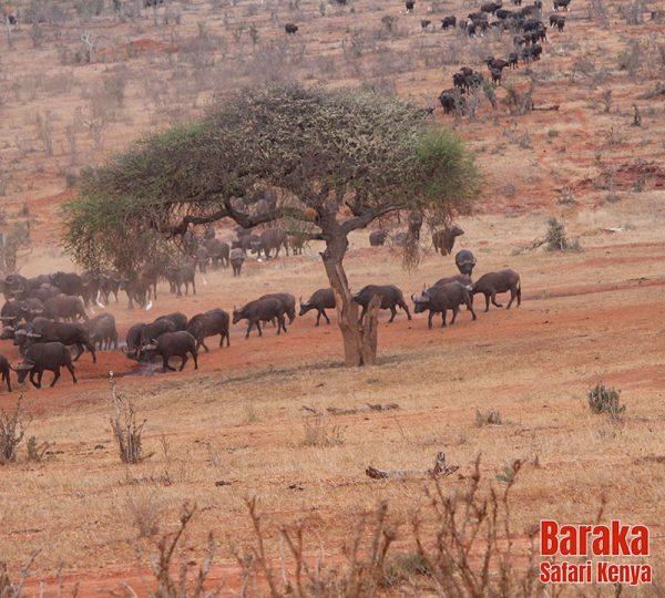 safari-tsavo-est-ovest-amboseli-barakasafarikenya-40