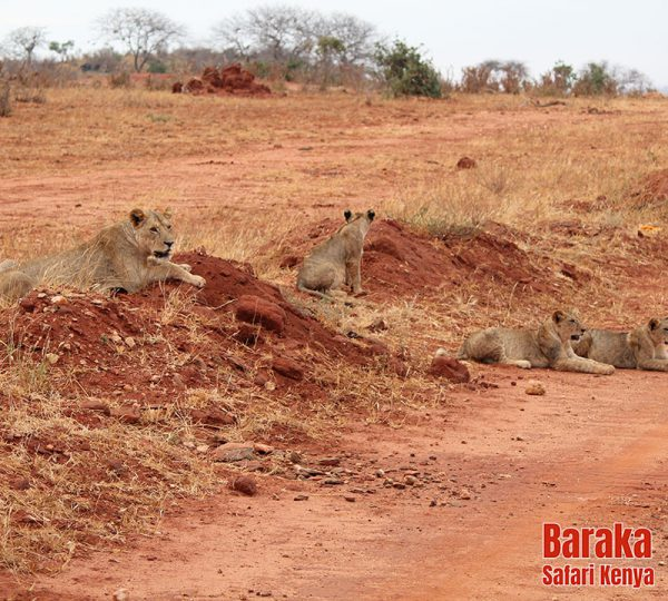 safari-tsavo-est-ovest-amboseli-barakasafarikenya-41