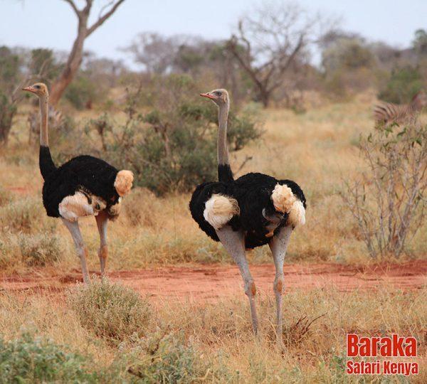 safari-tsavo-est-ovest-amboseli-barakasafarikenya-42
