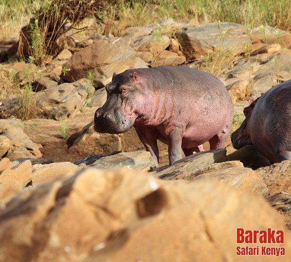 safari-tsavo-est-ovest-amboseli-barakasafarikenya-44