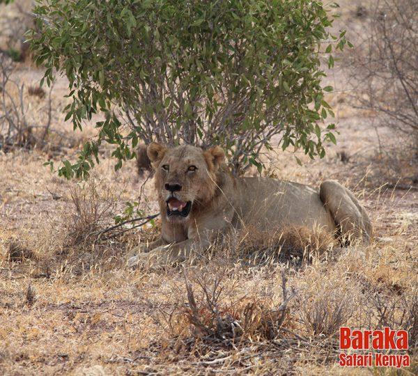 safari-tsavo-est-ovest-amboseli-barakasafarikenya-48