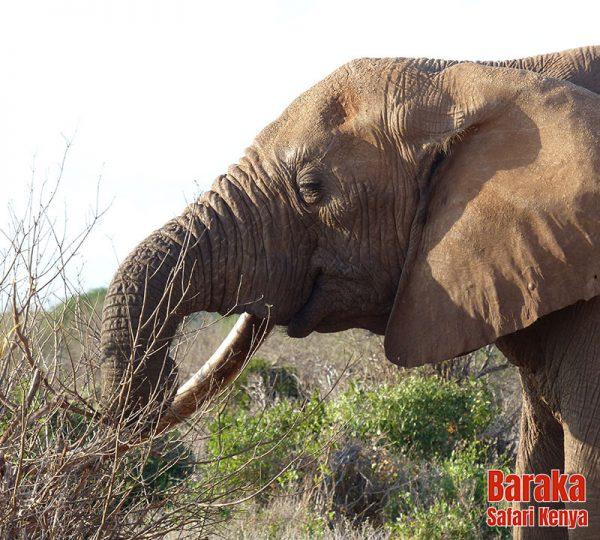 safari-tsavo-est-ovest-amboseli-barakasafarikenya-57