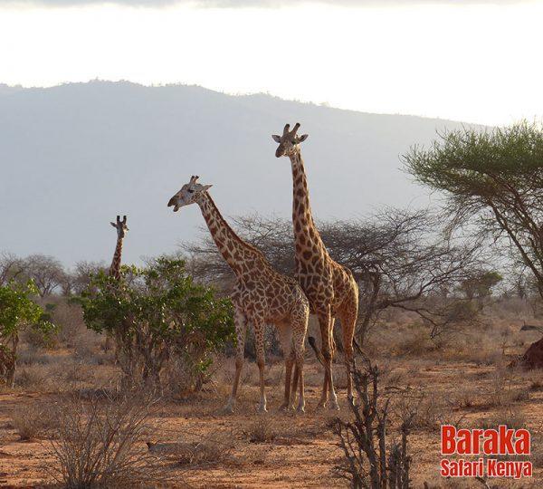 safari-tsavo-est-ovest-amboseli-barakasafarikenya-59