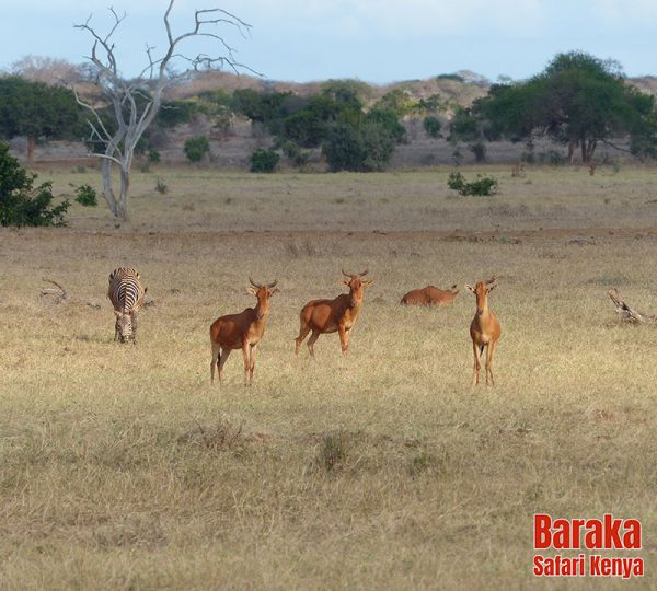 safari-tsavo-est-ovest-amboseli-barakasafarikenya-62