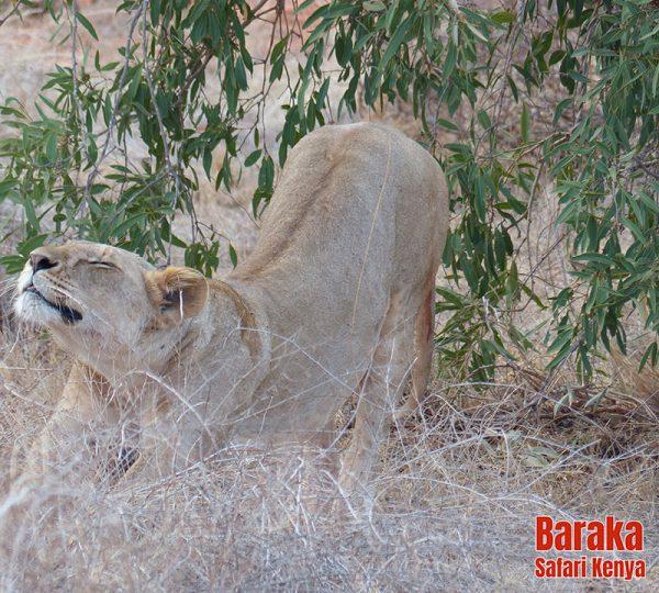 safari-tsavo-est-ovest-amboseli-barakasafarikenya-63