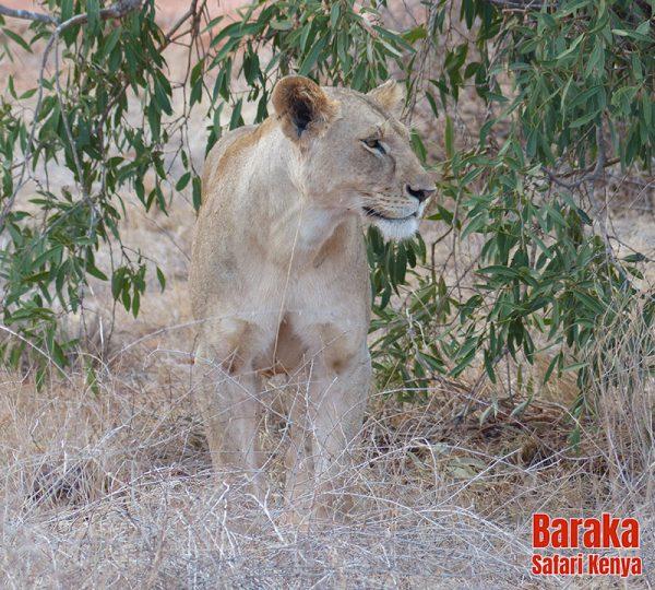 safari-tsavo-est-ovest-amboseli-barakasafarikenya-64