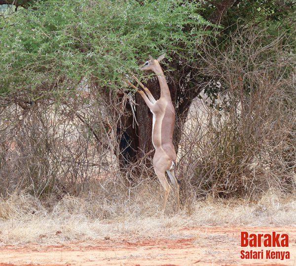 safari-tsavo-est-ovest-amboseli-barakasafarikenya-65