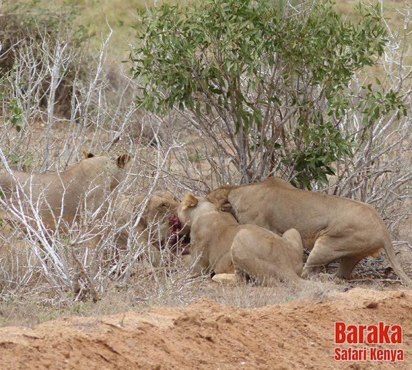 safari-tsavo-est-ovest-amboseli-barakasafarikenya-67