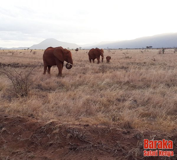 safari-tsavo-est-ovest-amboseli-barakasafarikenya-74