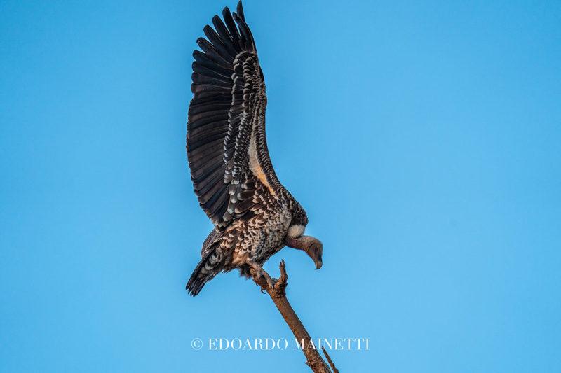 avvoltoio amboselinationalpark