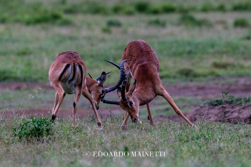 combattimento antilopi tsavo ovest