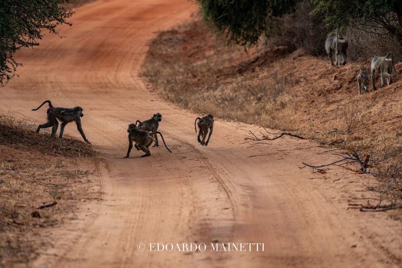 scimmiette tsavo ovest