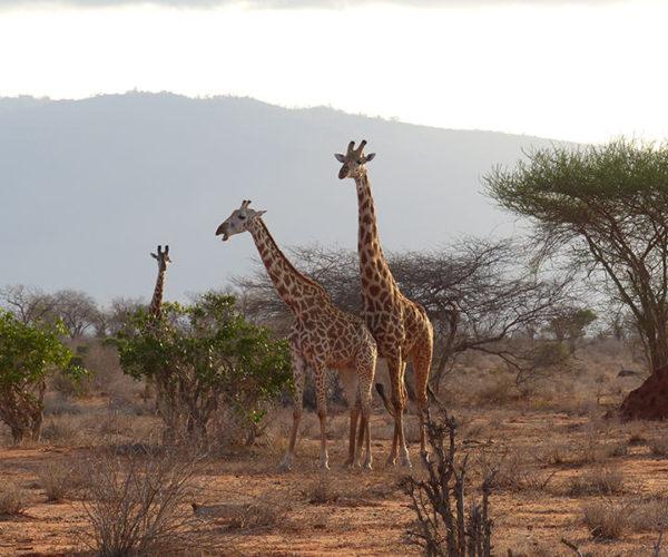 Safari-Watamu-Tsavo-Est-BARAKA-SAFARI