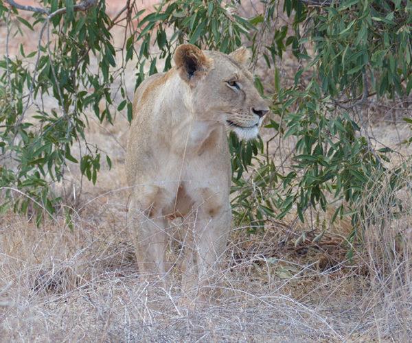 Safari-in-KENYA-BARAKA